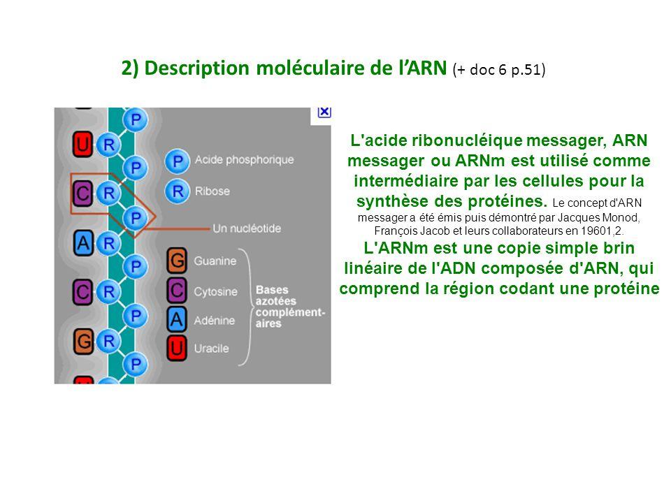 2) Description moléculaire de l'ARN (+ doc 6 p.51) L acide ribonucléique messager, ARN messager ou ARNm est utilisé comme intermédiaire par les cellules pour la synthèse des protéines.