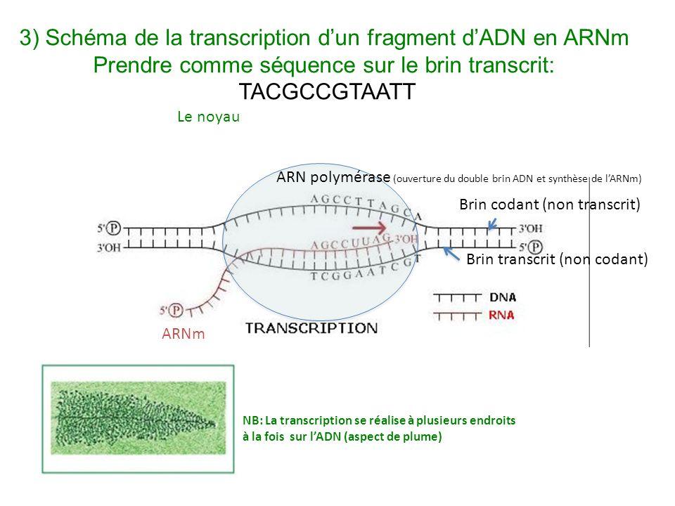 ARNm ARN polymérase (ouverture du double brin ADN et synthèse de l'ARNm) Brin transcrit (non codant) Brin codant (non transcrit) Le noyau NB: La transcription se réalise à plusieurs endroits à la fois sur l'ADN (aspect de plume) 3) Schéma de la transcription d'un fragment d'ADN en ARNm Prendre comme séquence sur le brin transcrit: TACGCCGTAATT