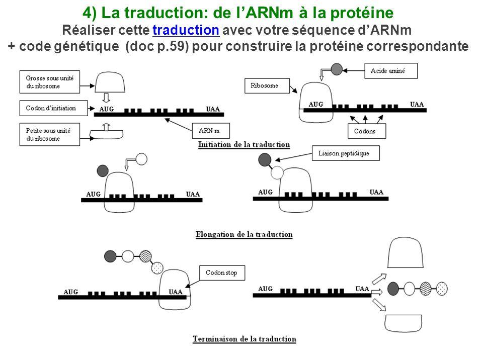 4) La traduction: de l'ARNm à la protéine Réaliser cette traduction avec votre séquence d'ARNmtraduction + code génétique (doc p.59) pour construire la protéine correspondante