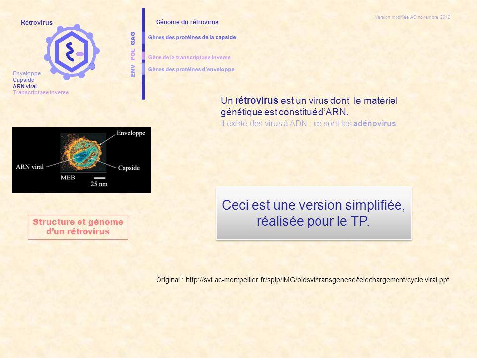 ENV POL GAG Gènes des protéines d'enveloppe Gènes des protéines de la capside Gène de la transcriptase inverse Génome du rétrovirus CELLULE HOTE ADN chromosomique de la cellule hôte NoyauCytoplasme Cycle réplicatif d'un rétrovirus Rétrovirus Enveloppe Capside ARN viral Transcriptase inverse