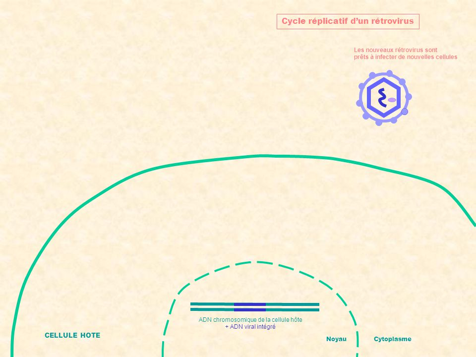 CELLULE HOTE NoyauCytoplasme Cycle réplicatif d'un rétrovirus Les nouveaux rétrovirus sont prêts à infecter de nouvelles cellules ADN chromosomique de