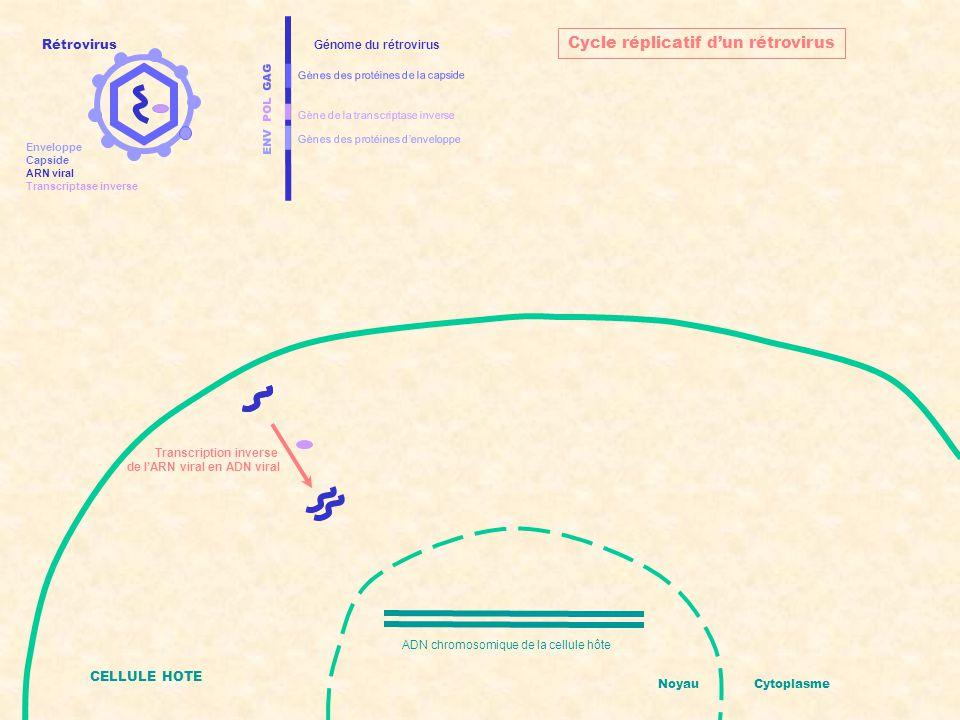 ENV POL GAG Gènes des protéines d'enveloppe Gènes des protéines de la capside Gène de la transcriptase inverse Génome du rétrovirus CELLULE HOTE ADN chromosomique de la cellule hôte + ADN viral intégré NoyauCytoplasme Cycle réplicatif d'un rétrovirus Intégration de l'ADN viral dans l'ADN de l'hôte Rétrovirus Enveloppe Capside ARN viral Transcriptase inverse