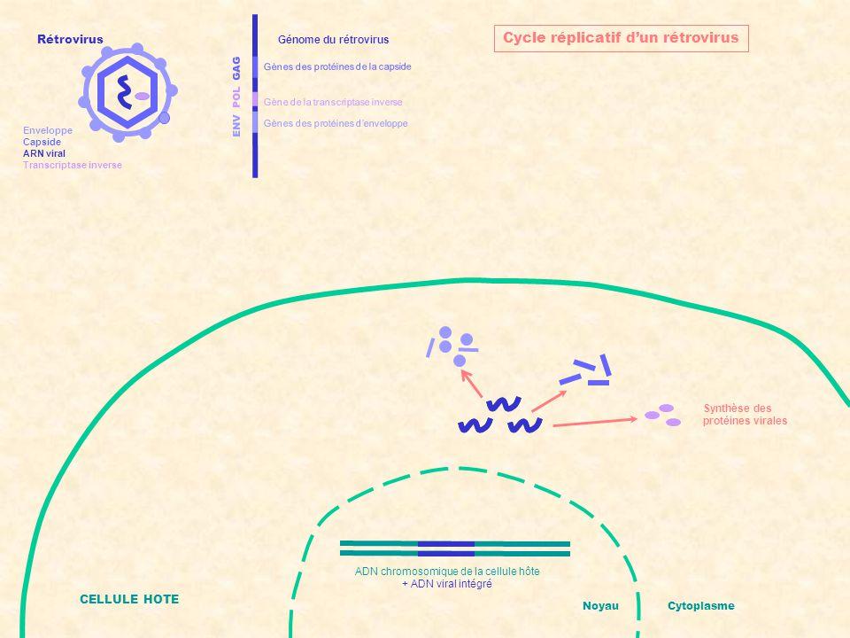ENV POL GAG Gènes des protéines d'enveloppe Gènes des protéines de la capside Gène de la transcriptase inverse Génome du rétrovirus Assemblage de nouveaux rétrovirus CELLULE HOTE NoyauCytoplasme Cycle réplicatif d'un rétrovirus ADN chromosomique de la cellule hôte + ADN viral intégré Rétrovirus Enveloppe Capside ARN viral Transcriptase inverse