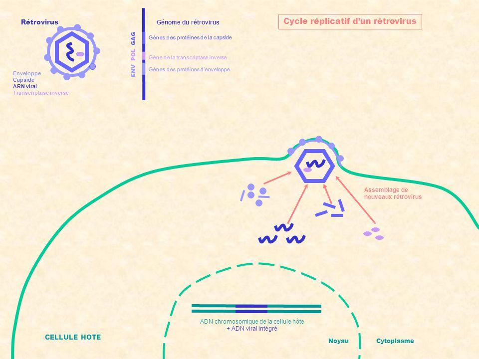 ENV POL GAG Gènes des protéines d'enveloppe Gènes des protéines de la capside Gène de la transcriptase inverse Génome du rétrovirus CELLULE HOTE NoyauCytoplasme Cycle réplicatif d'un rétrovirus Libération de nouveaux rétrovirus ADN chromosomique de la cellule hôte + ADN viral intégré Rétrovirus Enveloppe Capside ARN viral Transcriptase inverse