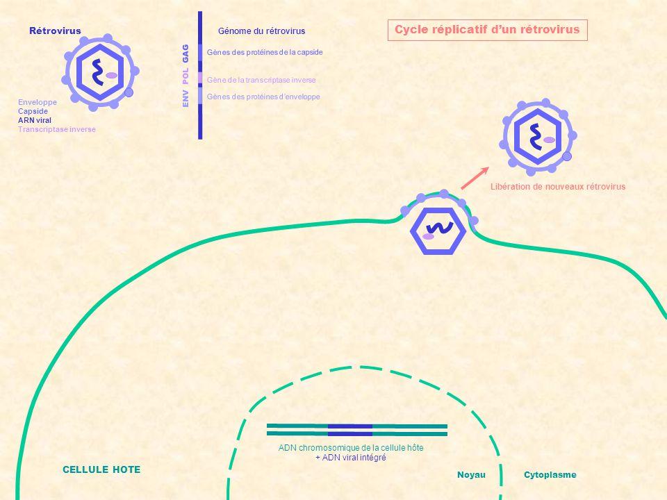 ENV POL GAG Gènes des protéines d'enveloppe Gènes des protéines de la capside Gène de la transcriptase inverse Génome du rétrovirus CELLULE HOTE Noyau