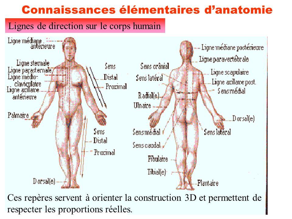 12 Connaissances élémentaires d'anatomie Lignes de direction sur le corps humain Ces repères servent à orienter la construction 3D et permettent de re