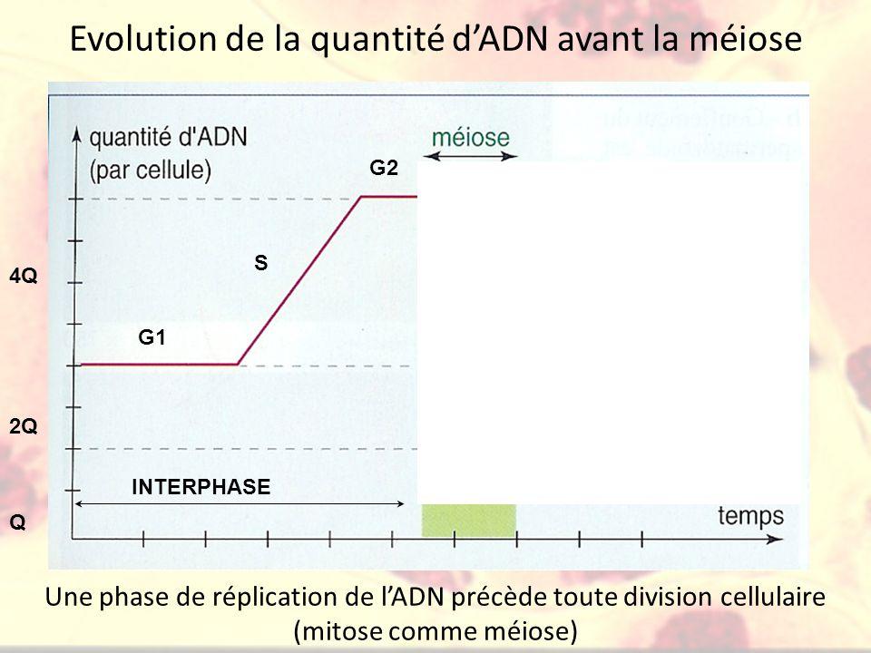 Evolution de la quantité d'ADN avant la méiose 2Q Q 4Q G1 S G2 INTERPHASE Une phase de réplication de l'ADN précède toute division cellulaire (mitose comme méiose)
