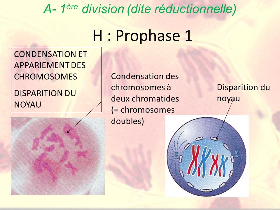 H : Prophase 1 Condensation des chromosomes à deux chromatides (= chromosomes doubles) Disparition du noyau CONDENSATION ET APPARIEMENT DES CHROMOSOMES DISPARITION DU NOYAU A- 1 ère division (dite réductionnelle)