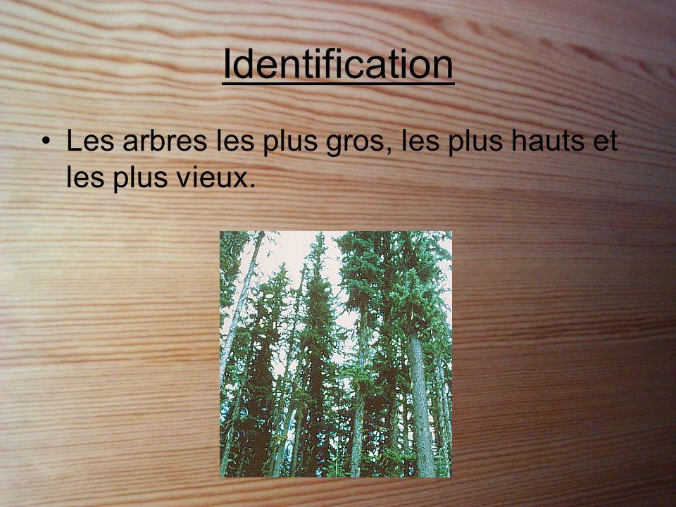 Identification cont… •Ils produisent des cônes. (ex : pins, épinettes, cèdres, etc.)