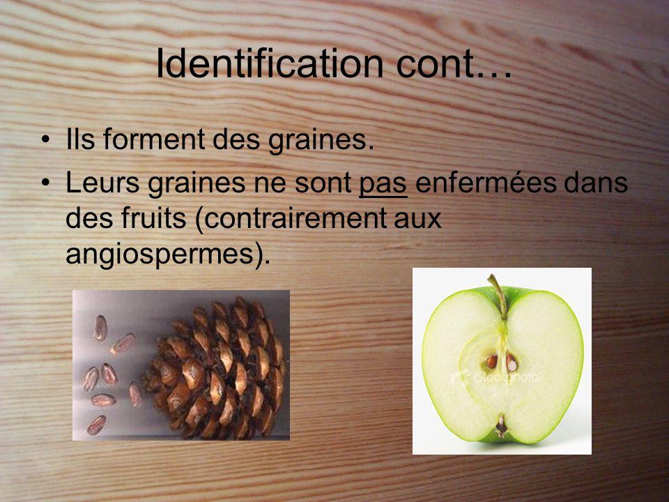 Reproduction - Ex: Le pin •La microspore : est dans les cônes mâles et produit le gamétophyte mâle (pollen ailé).