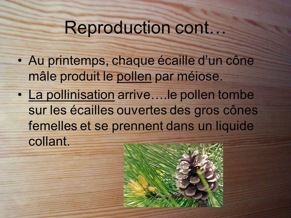 Reproduction cont… •Le pollen est poussé vers les ovules et féconde l'ovule.