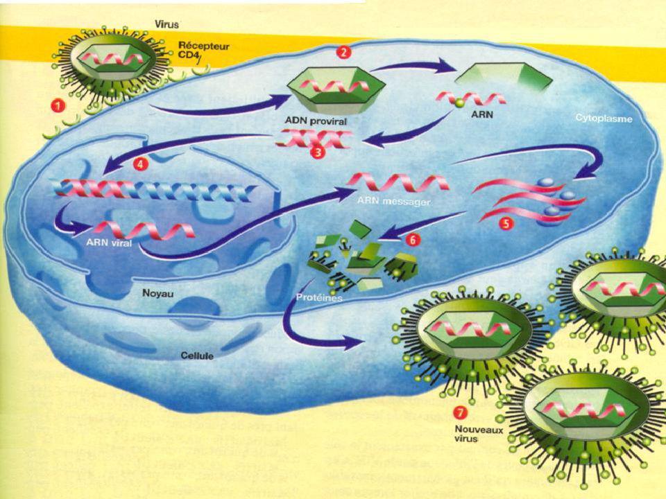 HIV infectieux Cellule cible Pénétration CD4 Monocytes Langerhans HIV Mal formés Agent pathogène quelconque Réplication Activation Contamination Apopt