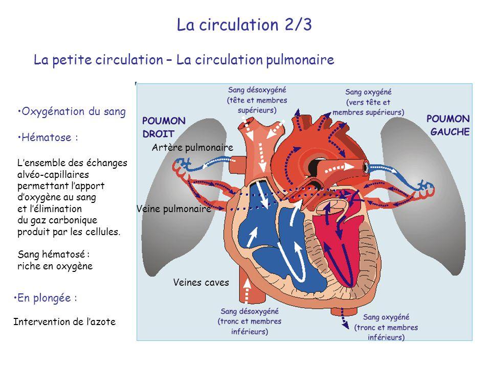 La circulation 2/3 La petite circulation – La circulation pulmonaire •Oxygénation du sang •Hématose : L'ensemble des échanges alvéo-capillaires permet