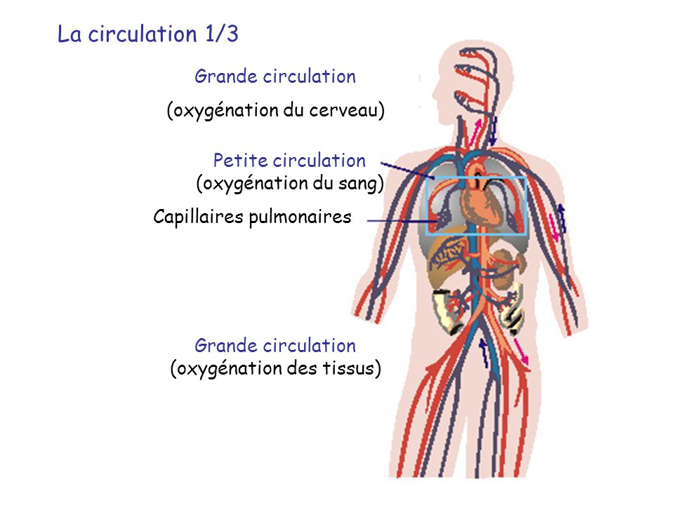 La circulation 2/3 La petite circulation – La circulation pulmonaire •Oxygénation du sang •Hématose : L'ensemble des échanges alvéo-capillaires permettant l'apport d'oxygène au sang et l'élimination du gaz carbonique produit par les cellules.
