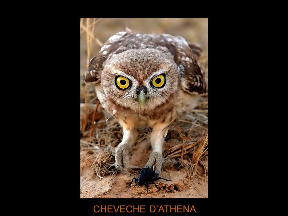 CHEVECHE D'ATHENA