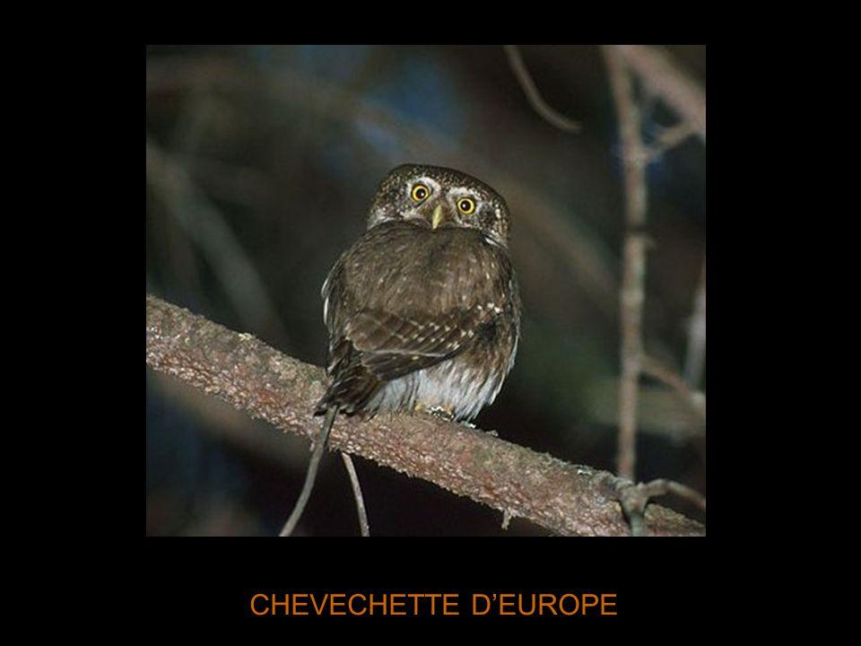 CHEVECHETTE D'EUROPE