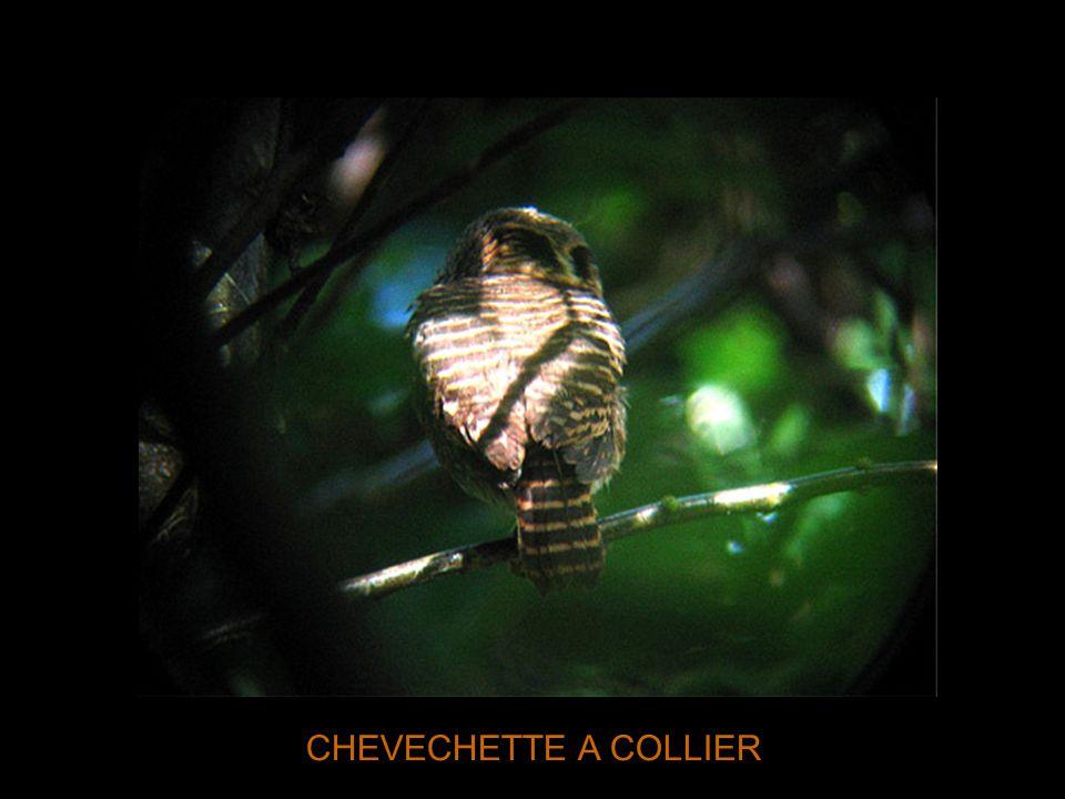CHEVECHETTE A COLLIER