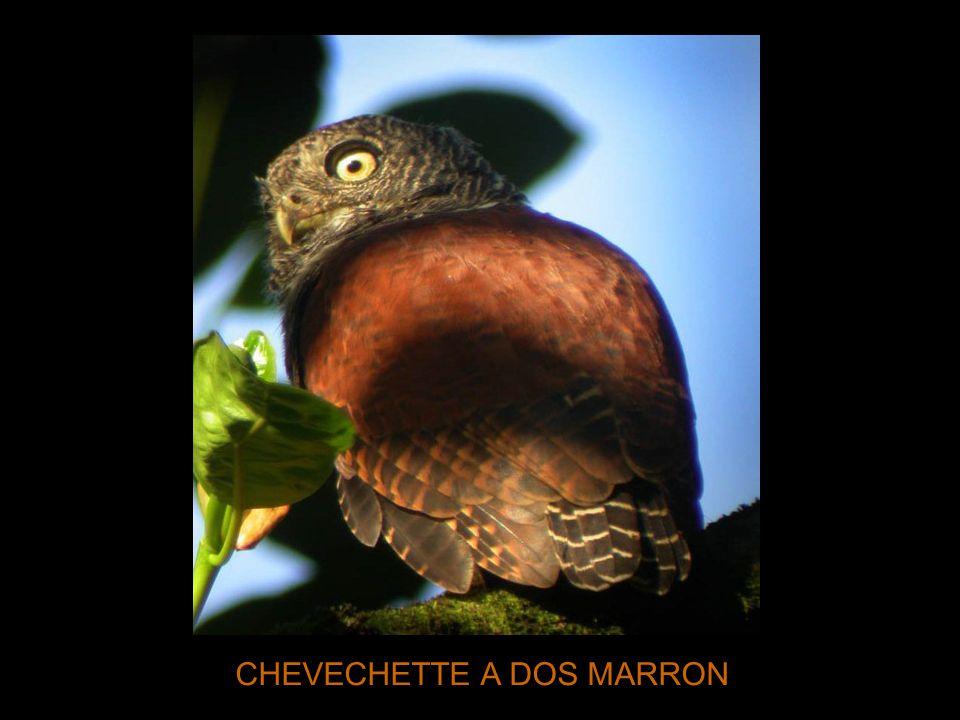 CHEVECHETTE A DOS MARRON
