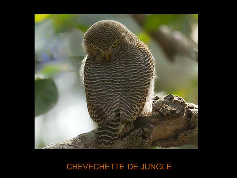 CHEVECHETTE DE JUNGLE