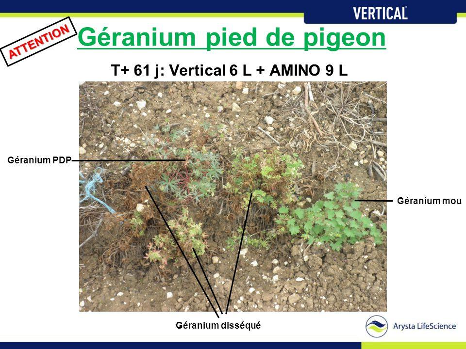 Géranium pied de pigeon T+ 61 j: Vertical 6 L + AMINO 9 L ATTENTION Géranium PDP Géranium mou Géranium disséqué