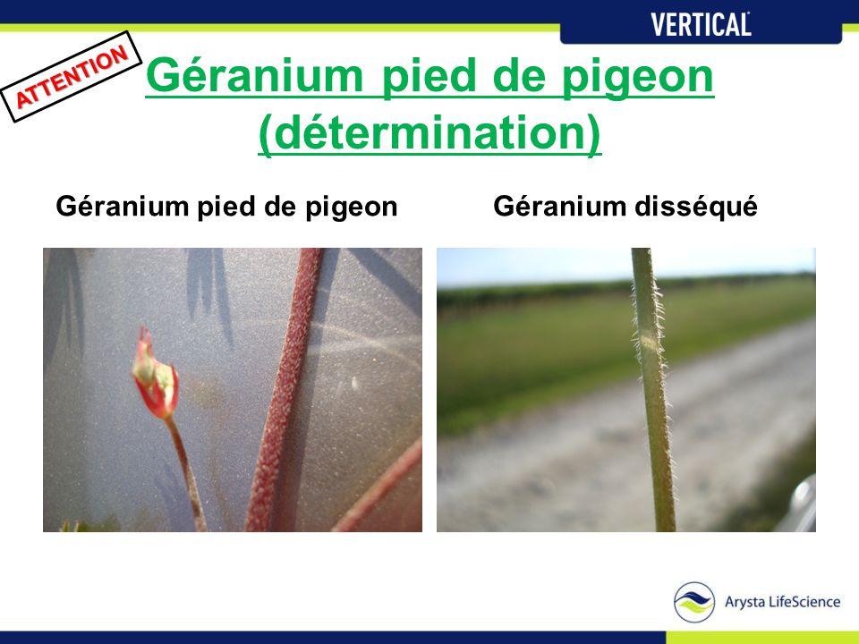 Géranium pied de pigeon (détermination) Géranium pied de pigeon ATTENTION Géranium disséqué