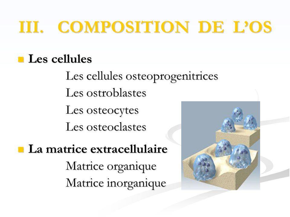 III. COMPOSITION DE L'OS  Les cellules Les cellules osteoprogenitrices Les cellules osteoprogenitrices Les ostroblastes Les ostroblastes Les osteocyt