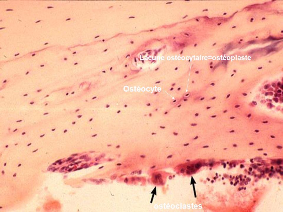 ostéoclastes Ostéocyte Lacune ostéocytaire=ostéoplaste
