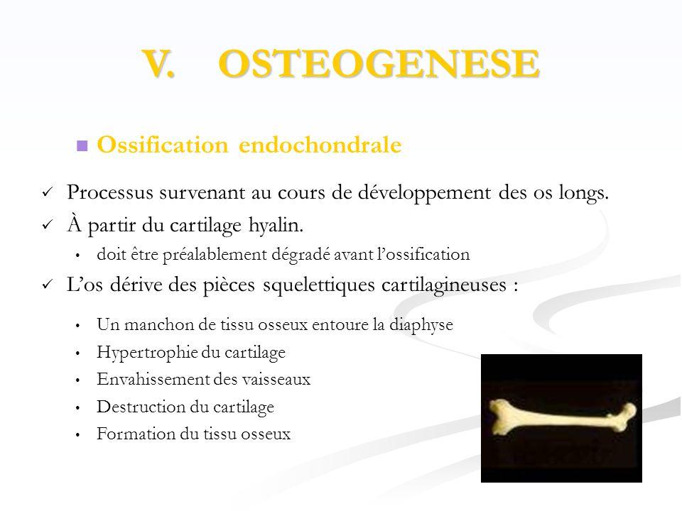 V. OSTEOGENESE  Ossification endochondrale  Processus survenant au cours de développement des os longs.  À partir du cartilage hyalin. • doit être