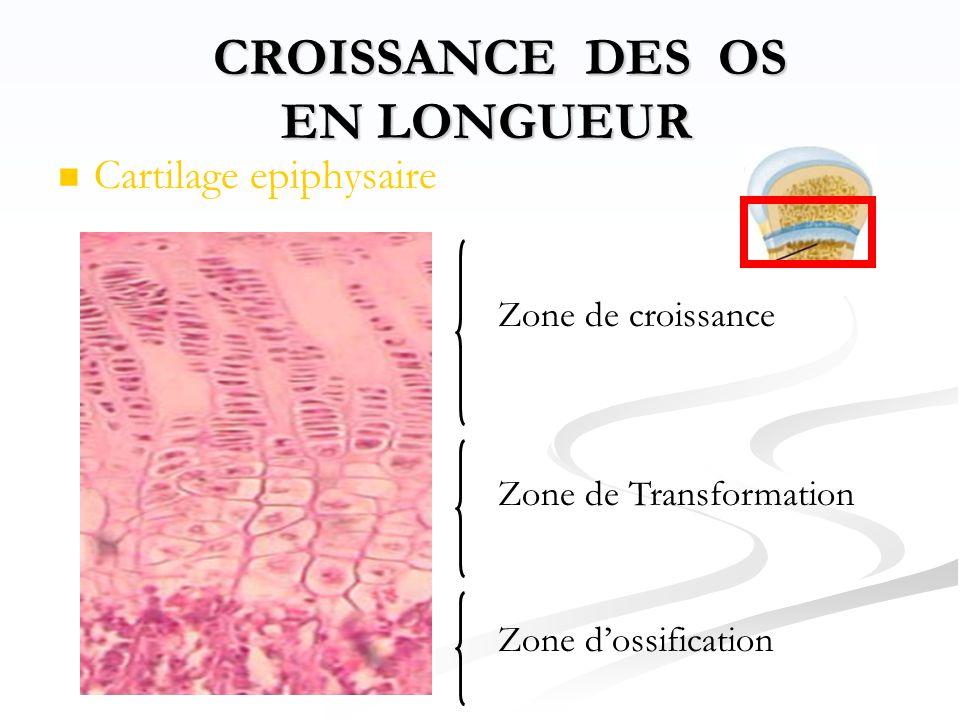   Cartilage epiphysaire CROISSANCE DES OS EN LONGUEUR CROISSANCE DES OS EN LONGUEUR Zone de croissance Zone de Transformation Zone d'ossification