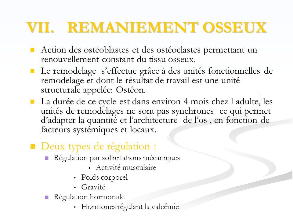 VII. REMANIEMENT OSSEUX   Action des ostéoblastes et des ostéoclastes permettant un renouvellement constant du tissu osseux.   Le remodelage s'eff