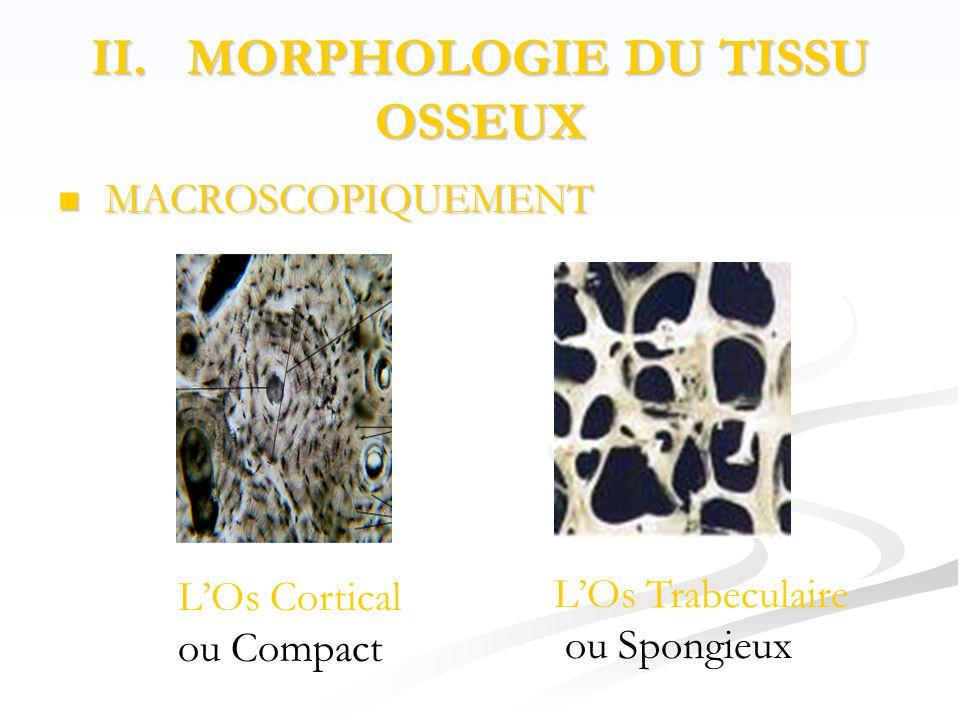 II. MORPHOLOGIE DU TISSU OSSEUX  MACROSCOPIQUEMENT L'Os Cortical ou Compact L'Os Trabeculaire ou Spongieux