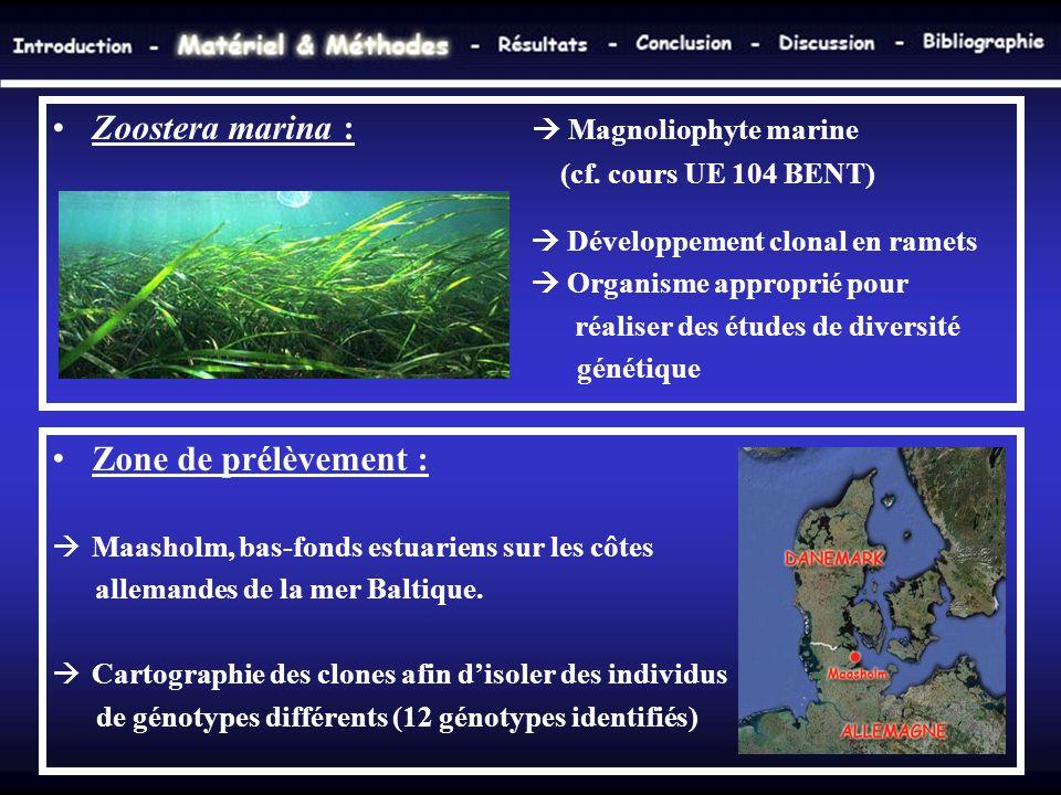 •Zoostera marina :  Magnoliophyte marine (cf. cours UE 104 BENT)  Développement clonal en ramets  Organisme approprié pour réaliser des études de d
