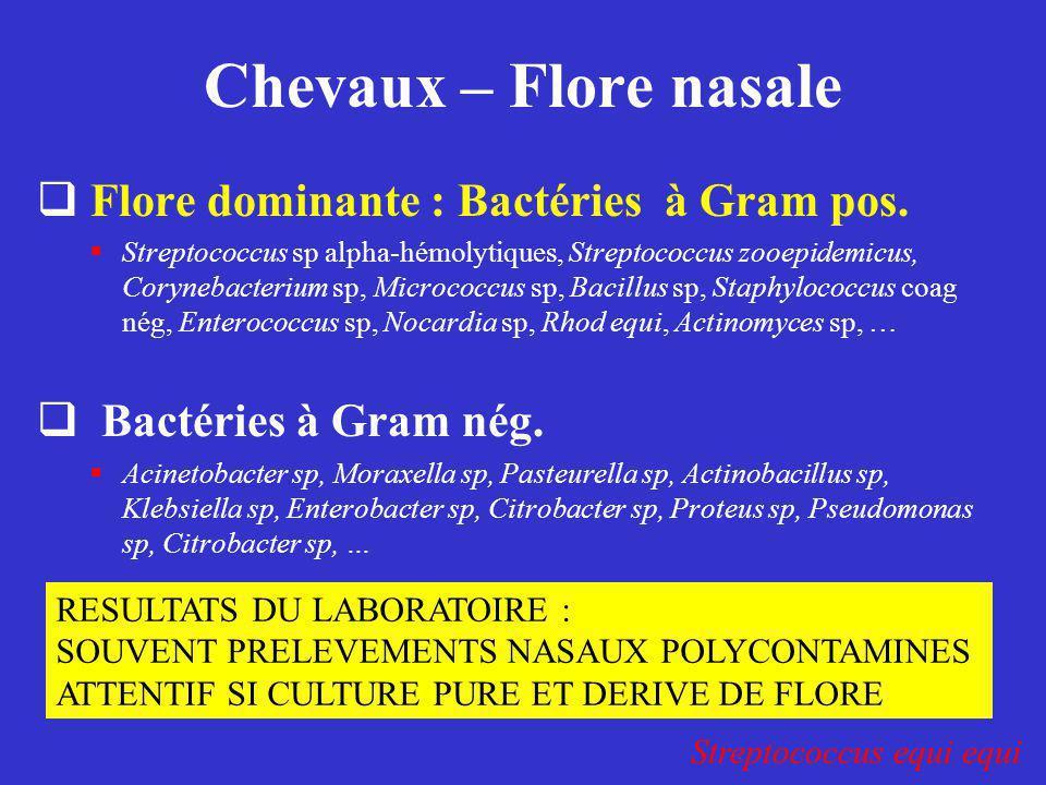 Chevaux – Flore nasale  Flore dominante : Bactéries à Gram pos.  Streptococcus sp alpha-hémolytiques, Streptococcus zooepidemicus, Corynebacterium s