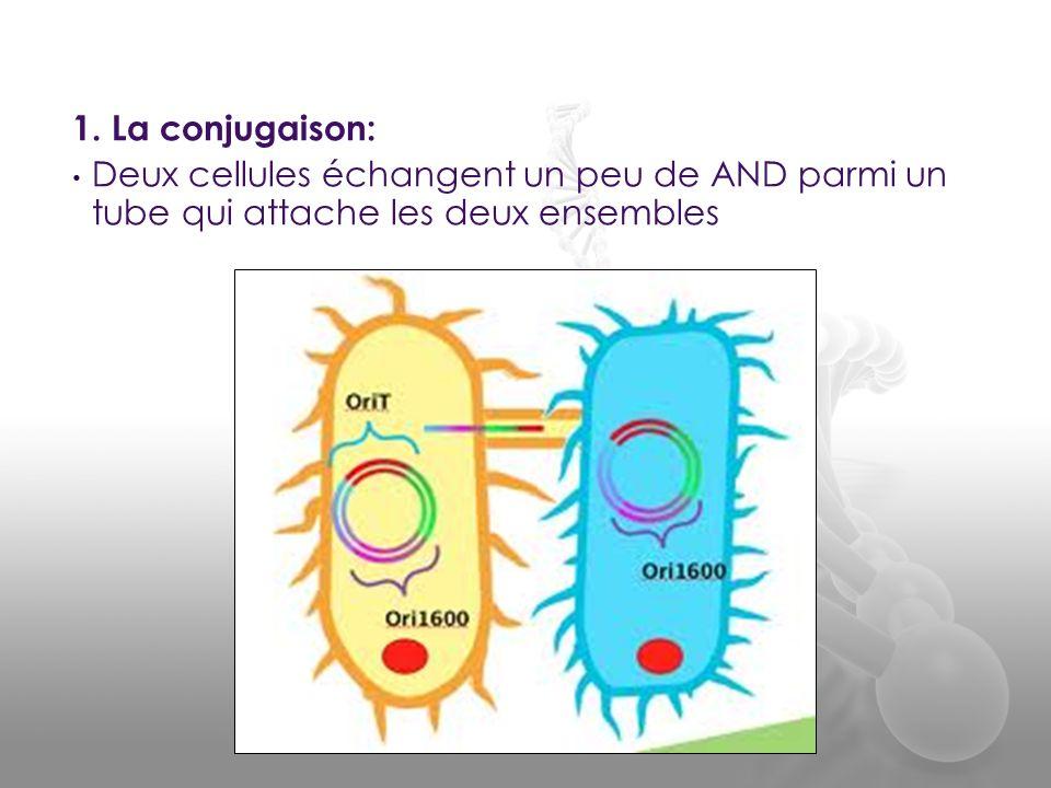 1. La conjugaison: • Deux cellules échangent un peu de AND parmi un tube qui attache les deux ensembles