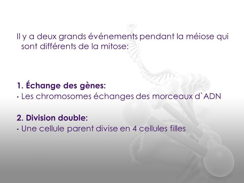 1. Échange des gènes: • Les chromosomes échanges des morceaux d`ADN 2. Division double: • Une cellule parent divise en 4 cellules filles Il y a deux g