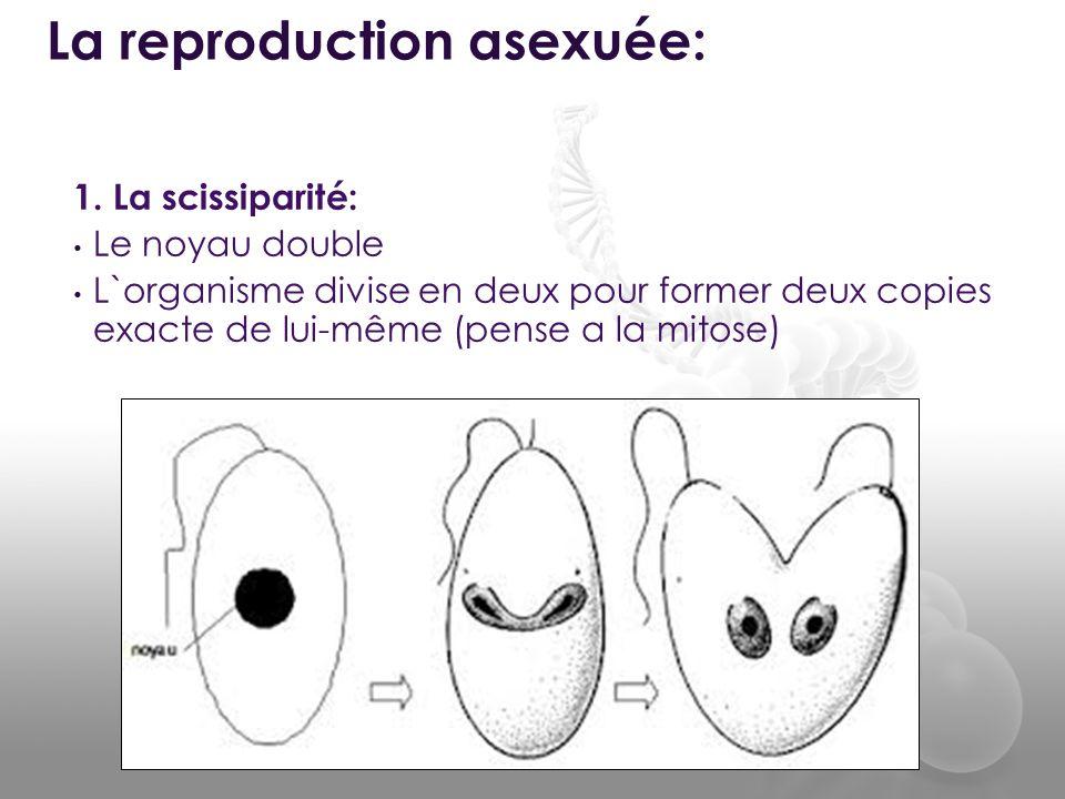 1. La scissiparité: • Le noyau double • L`organisme divise en deux pour former deux copies exacte de lui-même (pense a la mitose) La reproduction asex