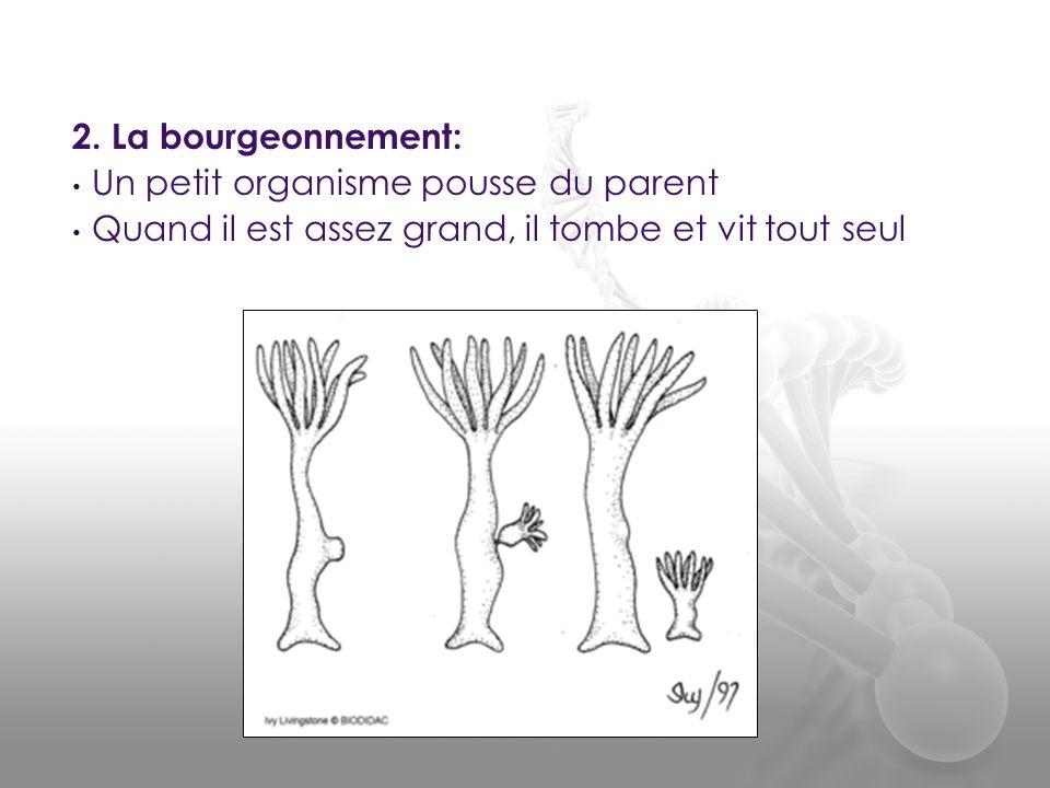 2. La bourgeonnement: • Un petit organisme pousse du parent • Quand il est assez grand, il tombe et vit tout seul