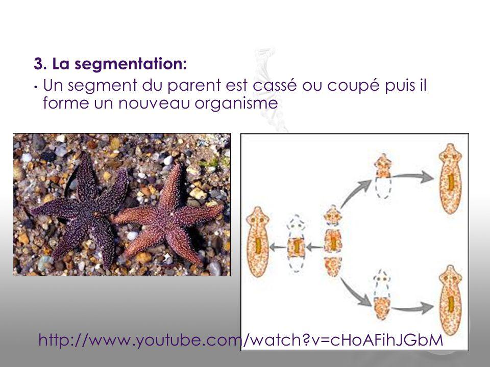 3. La segmentation: • Un segment du parent est cassé ou coupé puis il forme un nouveau organisme http://www.youtube.com/watch?v=cHoAFihJGbM