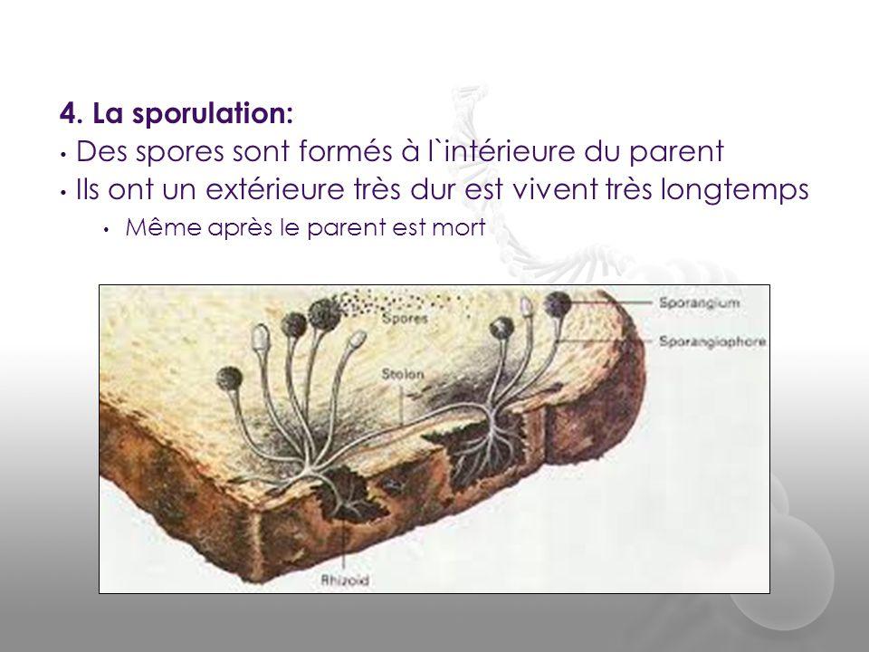 4. La sporulation: • Des spores sont formés à l`intérieure du parent • Ils ont un extérieure très dur est vivent très longtemps • Même après le parent