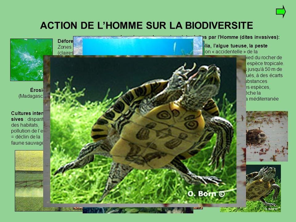 ACTION DE L'HOMME SUR LA BIODIVERSITE Déforestation : Zones déboisées (claires) sur 512 km2 de la forêt amazonienne Érosion (Madagascar) Cultures inte