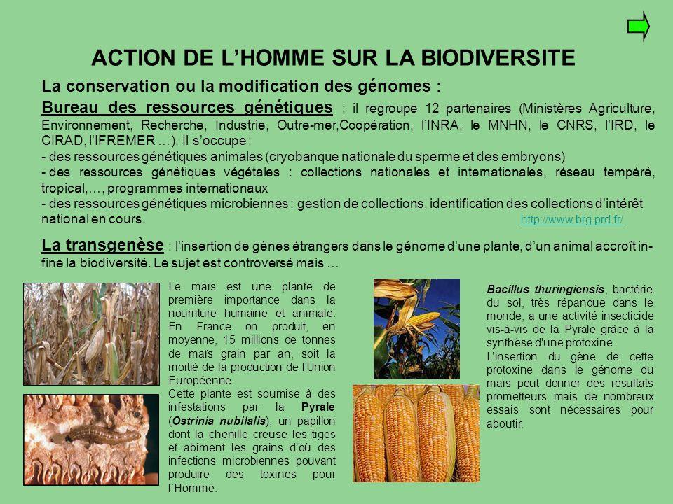 Le maïs est une plante de première importance dans la nourriture humaine et animale. En France on produit, en moyenne, 15 millions de tonnes de maïs g
