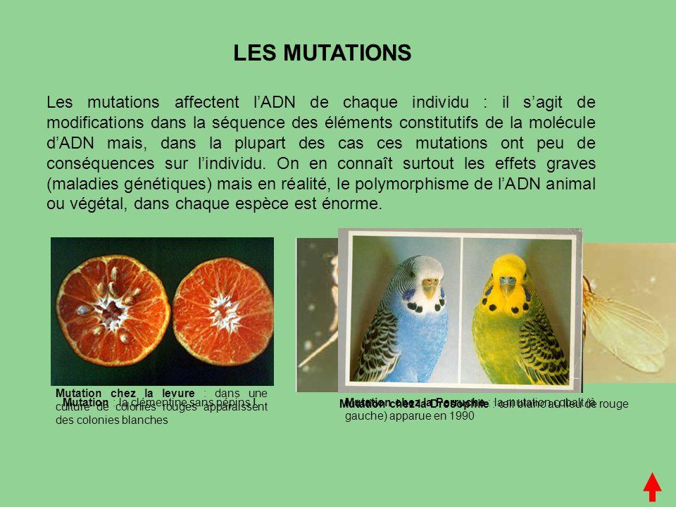 LES MUTATIONS Les mutations affectent l'ADN de chaque individu : il s'agit de modifications dans la séquence des éléments constitutifs de la molécule