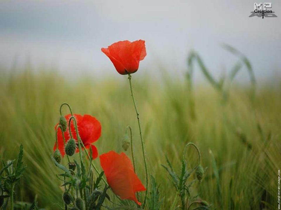 Leurs corolles de soie, si belles, si fragiles, Semblent danser au vent sur les tiges graciles.