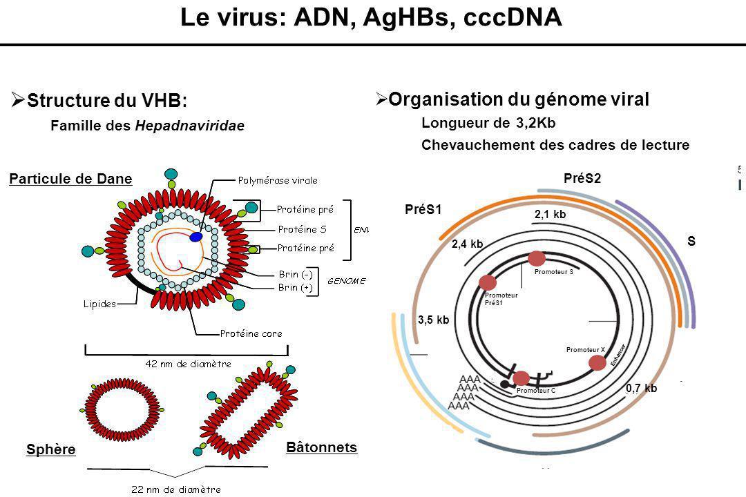  Structure du VHB:  Famille des Hepadnaviridae  Organisation du génome viral  Longueur de 3,2Kb  Chevauchement des cadres de lecture Particule de Dane Sphère Bâtonnets PréS2 S PréS1 Brin (+) Brin (-) 5'5' Signal de polyadénylation Polymérase Pré core Core X 5'5' 3,5 kb 2,4 kb 2,1 kb 0,7 kb Promoteur X Promoteur C Promoteur S Promoteur PréS1 Enhancer S1 S2 Le virus: ADN, AgHBs, cccDNA