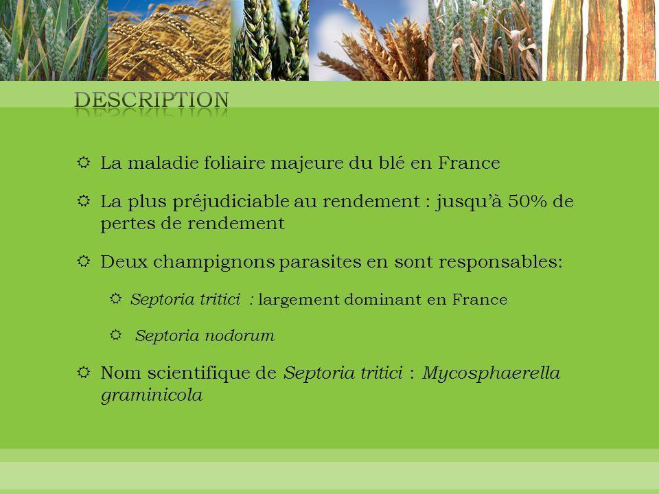  La maladie foliaire majeure du blé en France  La plus préjudiciable au rendement : jusqu'à 50% de pertes de rendement  Deux champignons parasites