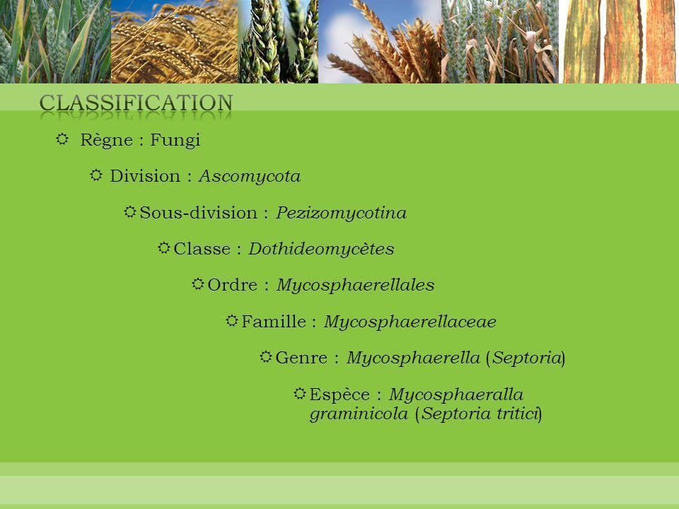 Règne : Fungi  Division : Ascomycota  Sous-division : Pezizomycotina  Classe : Dothideomycètes  Ordre : Mycosphaerellales  Famille : Mycosphaer