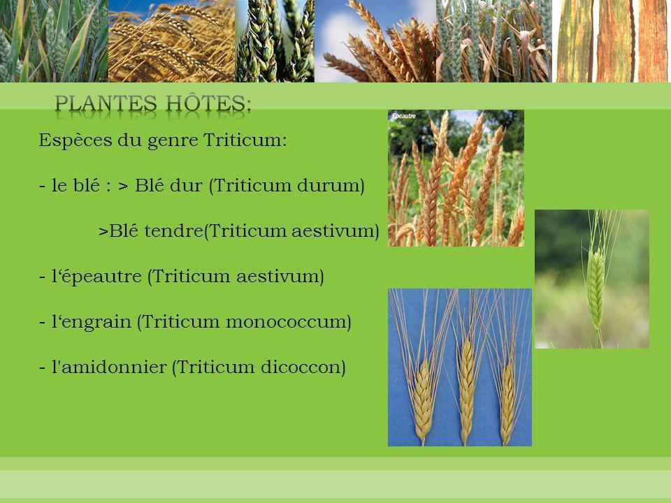 Espèces du genre Triticum: - le blé : > Blé dur (Triticum durum) >Blé tendre(Triticum aestivum) - l'épeautre (Triticum aestivum) - l'engrain (Triticum