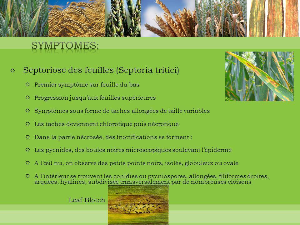  Septoriose des feuilles (Septoria tritici)  Premier symptôme sur feuille du bas  Progression jusqu'aux feuilles supérieures  Symptômes sous forme