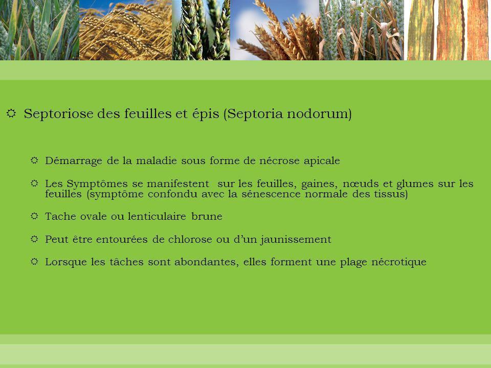  Septoriose des feuilles et épis (Septoria nodorum)  Démarrage de la maladie sous forme de nécrose apicale  Les Symptômes se manifestent sur les fe