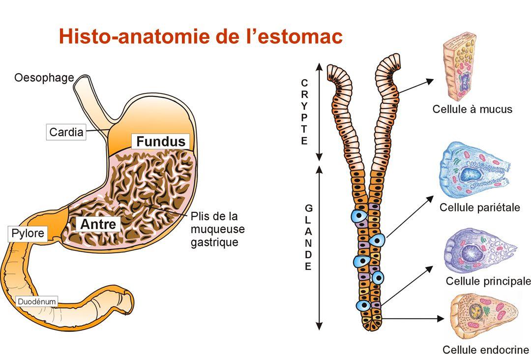 Lumière gastriqu Cytosol de la Cellule pariétale IPP ATP ATPase H+,K+ sur la membrane gastrique